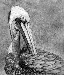 Brown_pelican_drawing